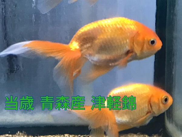 津軽錦入荷いたしました!!