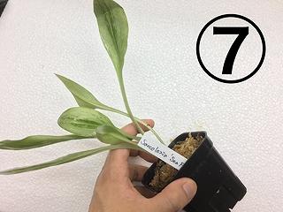 水草部最新入荷:2月21日入荷分(レア植物)その2