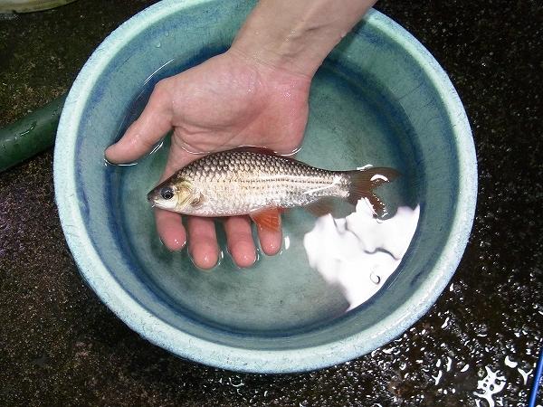 タイ・シンブリ産(Singburi) 採集魚 ⓶
