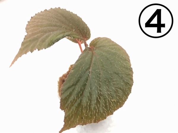 水草部最新入荷:5月22日入荷分(パルダリウムに向いた激珍植物)その2