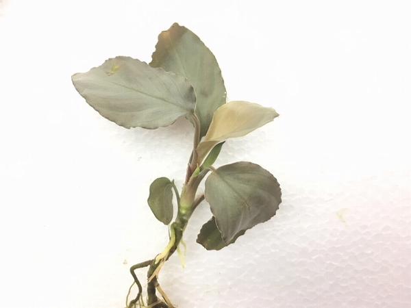 水草部最新入荷:8月9日入荷分③(インドネシア産ワイルド植物:ホマロメナ他)