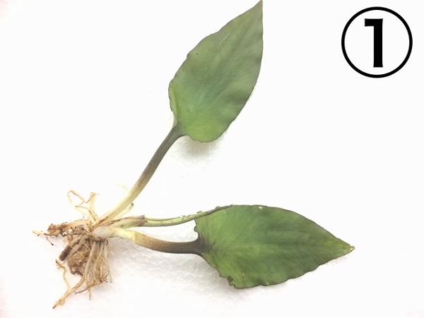 水草部最新入荷:8月9日入荷分②(インドネシア産ワイルド植物:クリプトコリネ)