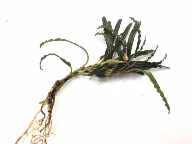 インドネシア・ワイルド植物 ①