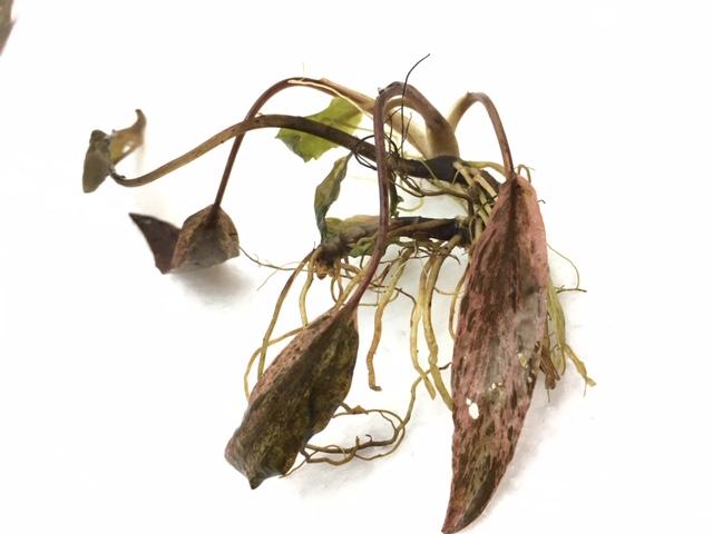 インドネシア・ワイルド植物 ②