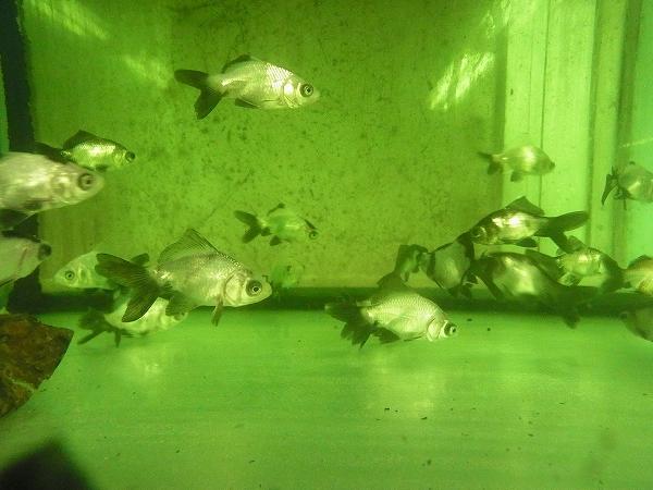 タイ産金魚入荷しました‼