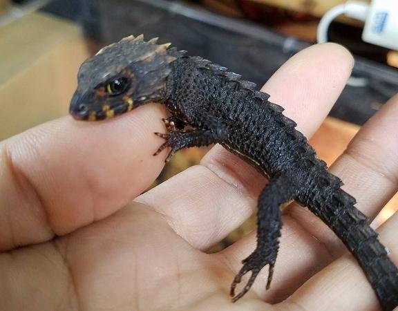 爬虫類最新入荷:インドネシア便②