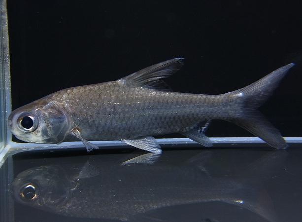 初入荷!!ミクラカンサスバルブ(Amblyrhynchichthys micracanthus)