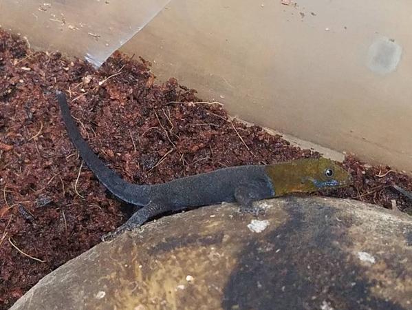 爬虫類部最新入荷(ニカラグア便)キガシライロワケヤモリ、シロクチドロガメ