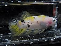 鯉黄写 (2)