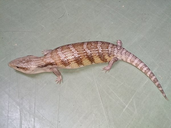 キタアオジタトカゲ パステルタイプ
