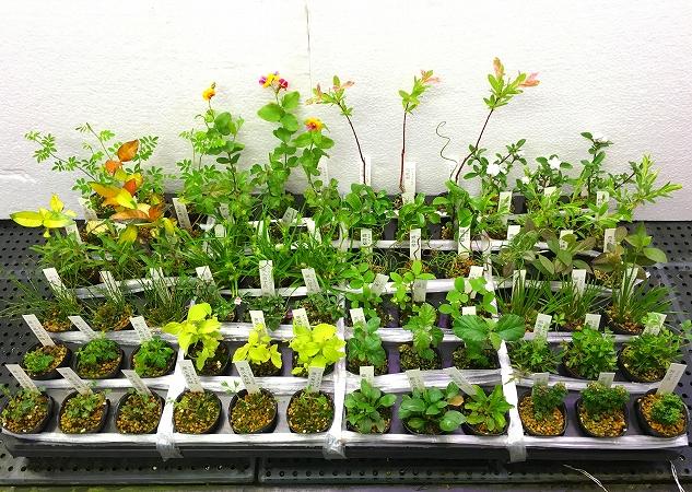 水草部最新入荷(5月12日・和な植物)