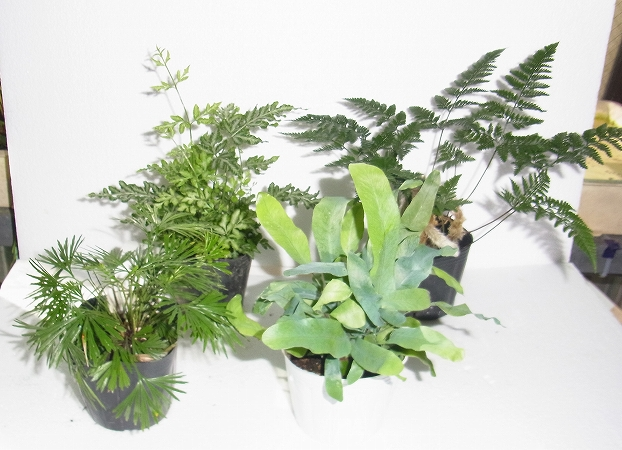 S-01117シダ植物