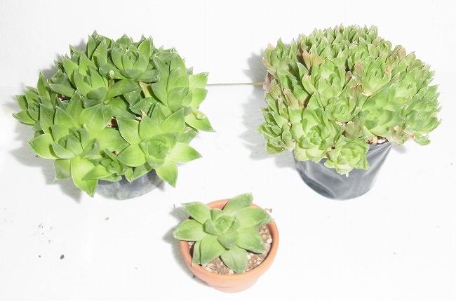 S-0117鉢植え