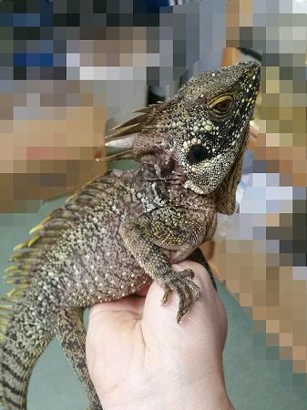 爬虫類最新入荷 ① ミナミモリドラゴンsp