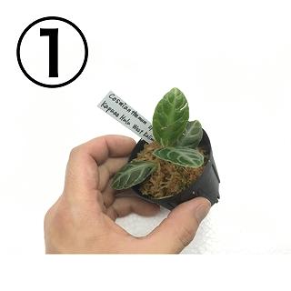 水草部最新入荷:2月21日入荷分(レア植物)その1
