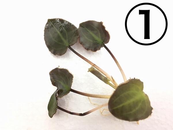 水草部最新入荷:インドネシアワイルド植物(クリプトコリネ)その1