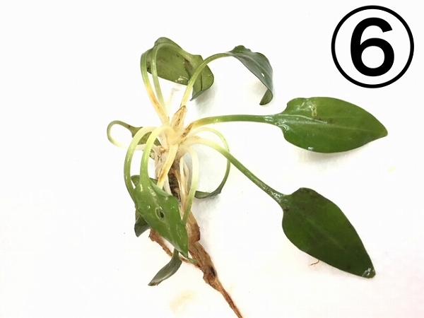 水草部最新入荷:インドネシアワイルド植物(クリプトコリネ)その2