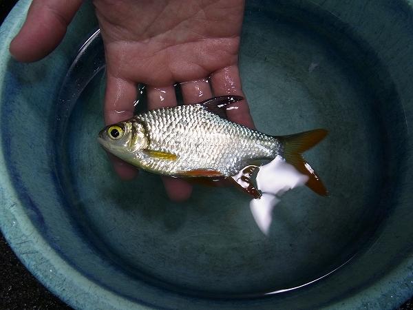 タイ・シンブリ産(Singburi)採集魚‼ ①