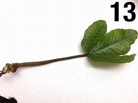 水草最新入荷:12月19日入荷分(インドネシアワイルド植物)②