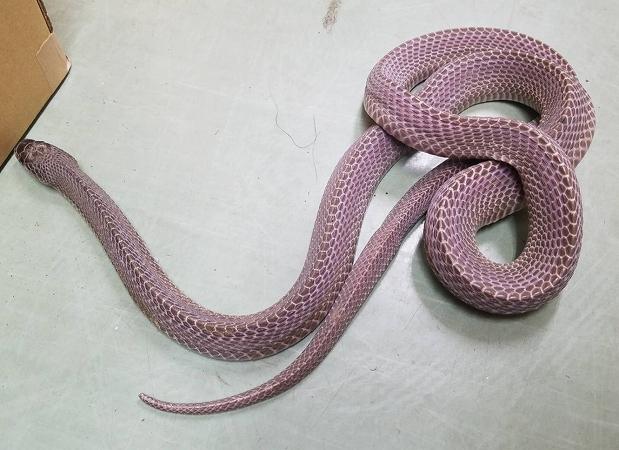 s-クロスサンカクヘビ