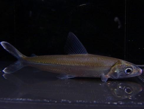 熱帯魚最新入荷:コロンビア便その1