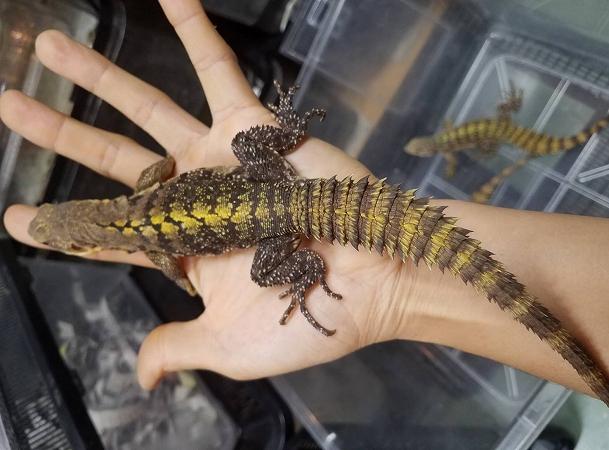 爬虫類部最新入荷(ニカラグア便)イエローバック トゲオイグアナ