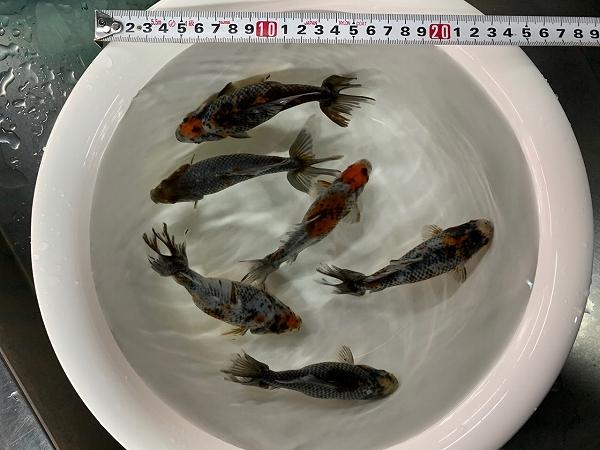 新着金魚のご案内:12月5日入荷分Part.1