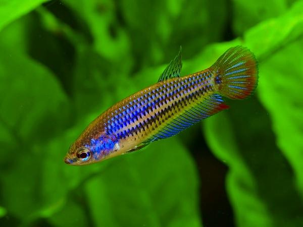 Blue Imbellis FemaleB