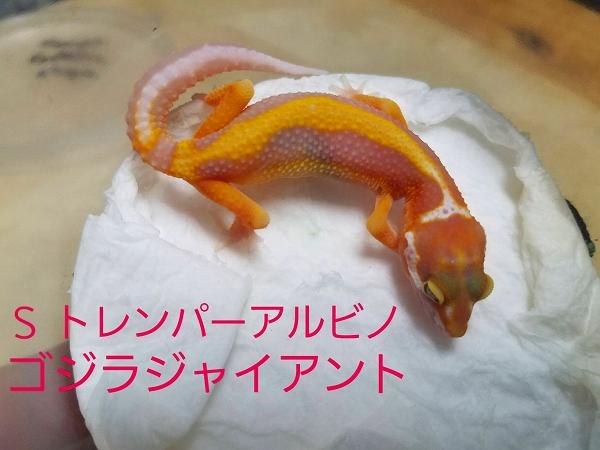 爬虫類最新入荷4月25日(カナダ便)