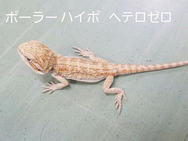 爬虫類最新入荷(台湾便)NO.2