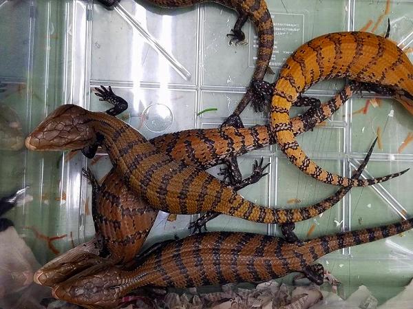 爬虫類部門最新入荷(インドネシア便)8月15日入荷分NO.3