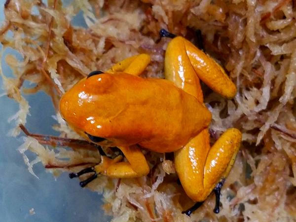 1モウドクフキヤガエル